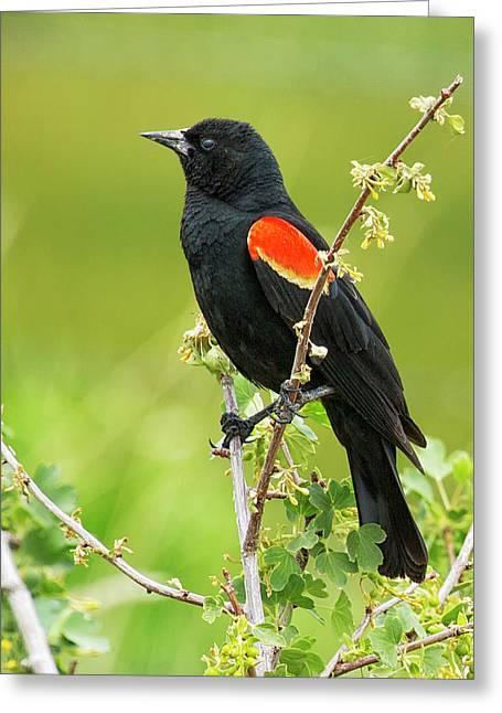Male Red-winged Blackbird Greeting Card by Belinda Greb
