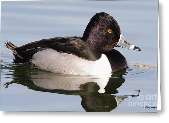 Male Ring Necked Duck Greeting Card