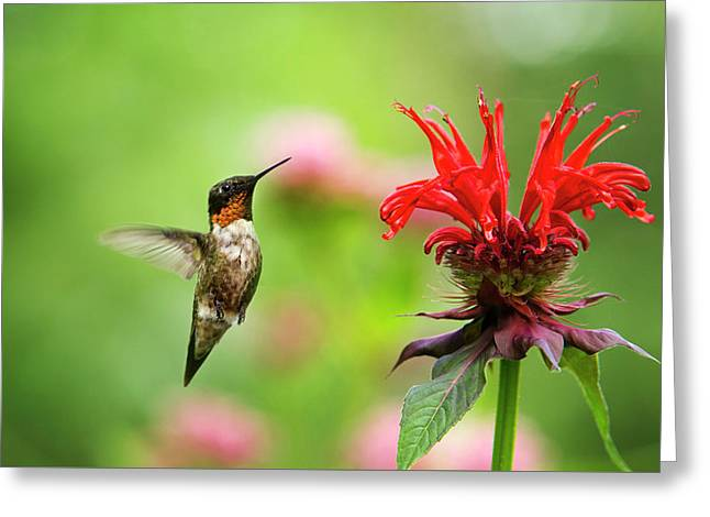 Male Ruby-throated Hummingbird Hovering Near Flowers Greeting Card