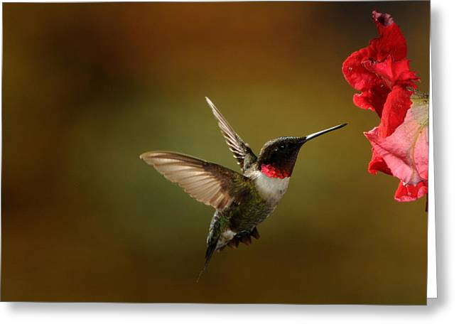 Male Ruby Throated Hummingbird Greeting Card
