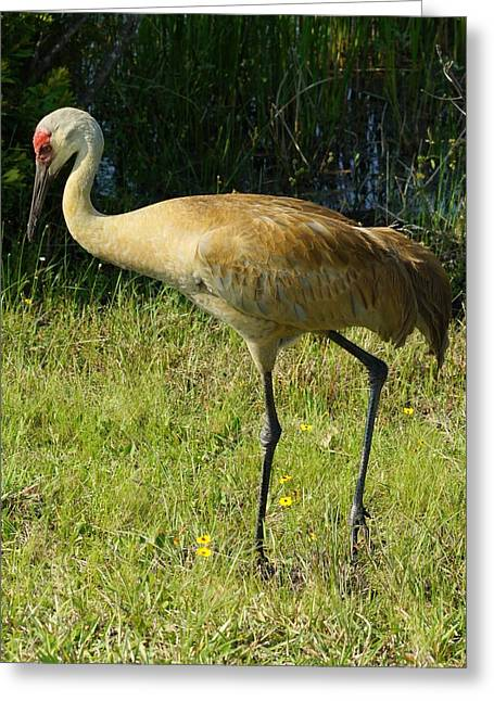 Greeting Card featuring the photograph Male Sandhill Crane by Lynda Dawson-Youngclaus