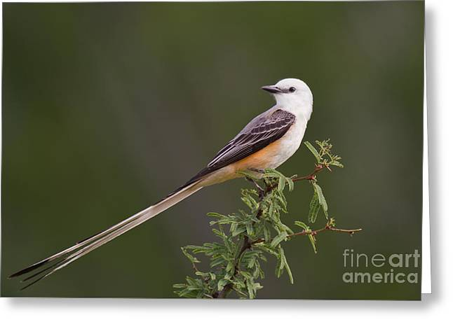 Male Scissor-tail Flycatcher Tyrannus Forficatus Wild Texas Greeting Card
