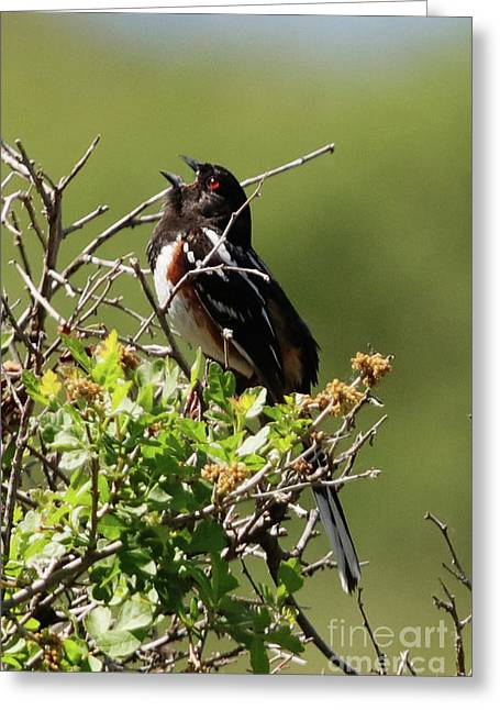 Male Spotted Towhee Greeting Card