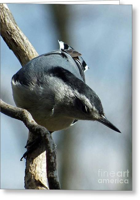 Male White-breasted Nuthatch Greeting Card by Cindy Treger