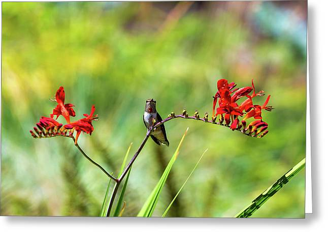 Male Young Hummingbird Perched Greeting Card