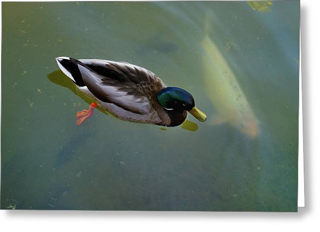 Mallard And Carp Greeting Card