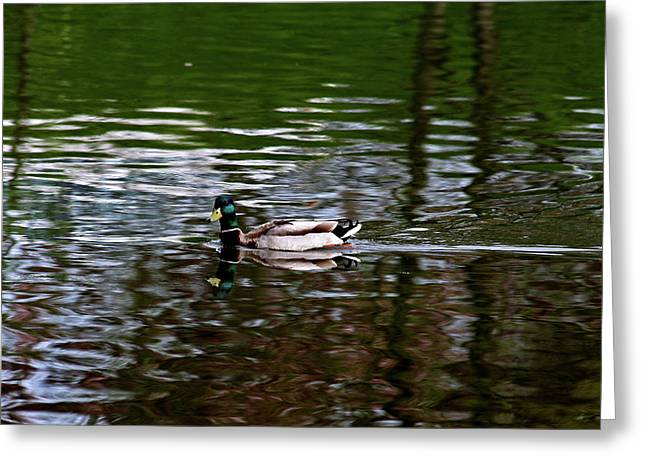 Mallard Greeting Card by Bonnie Bruno
