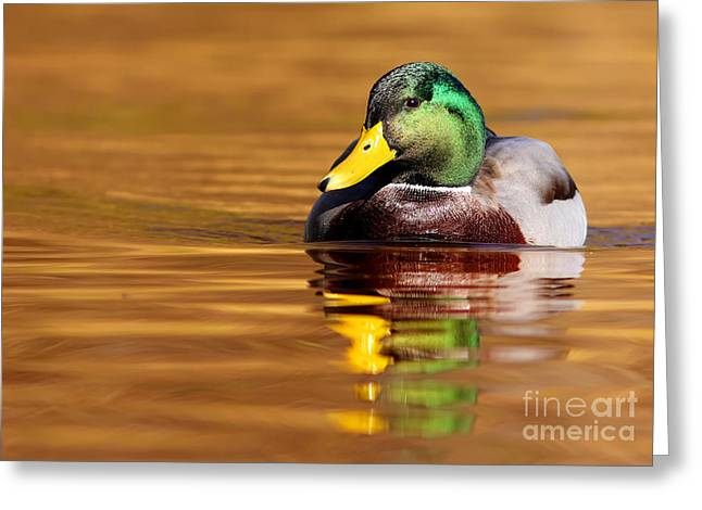 Mallard Drake In The Golden Water Greeting Card by Mircea Costina Photography