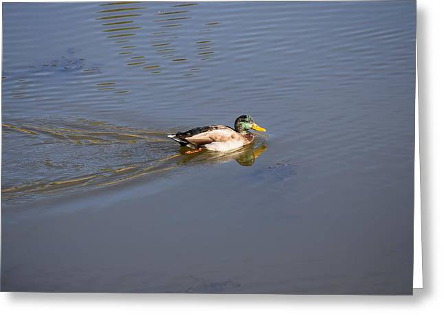 Mallard Duck Burgess Res Co Greeting Card