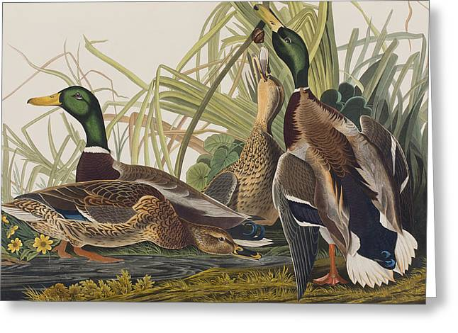 Mallard Duck Greeting Card by John James Audubon