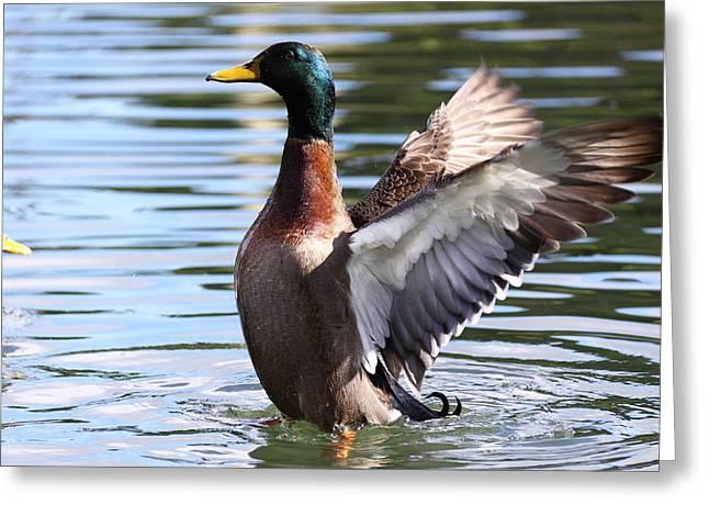 Mallard Duck  Greeting Card by Stephen Athea