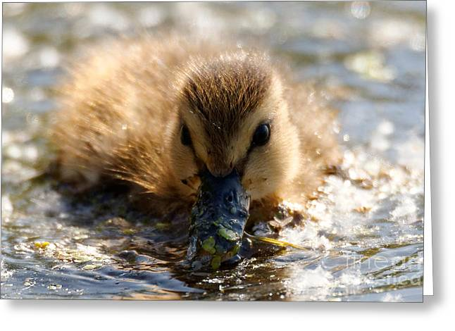 Greeting Card featuring the photograph Mallard Duckling by Sue Harper