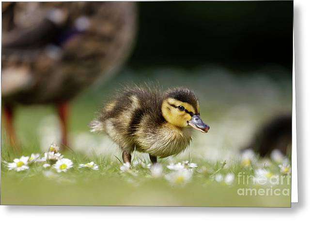 Mallard Ducklings - Anas Platyrhynchos - Grazing Feeding Among Dai Greeting Card