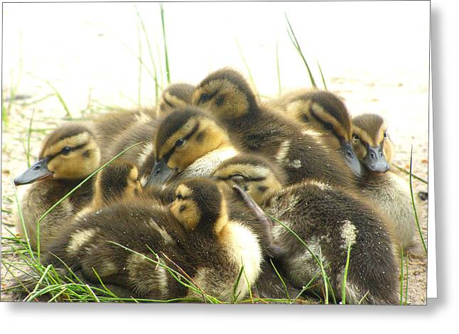 Greeting Card featuring the photograph Mallard Ducklings by Angie Rea