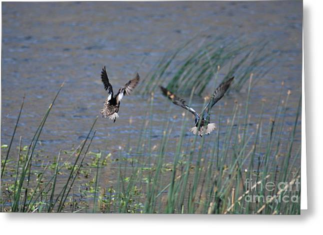 Mallard Ducks - Nelson Resevior White Mountains Greeting Card by Donna Greene
