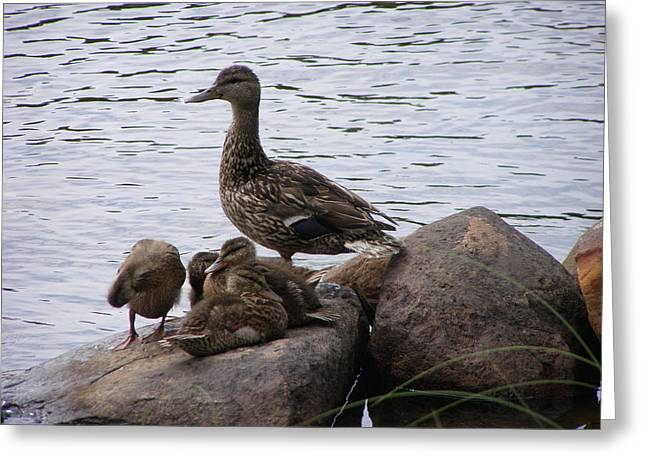 Greeting Card featuring the photograph Mallard Family by Meagan  Visser