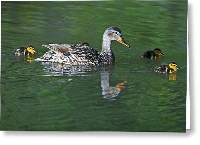 Mallard Hen And Her Ducklings Out For A Swim Greeting Card