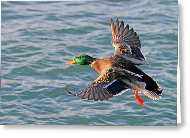 Mallard In Flight 3 Greeting Card