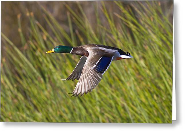 Mallard In Flight Greeting Card