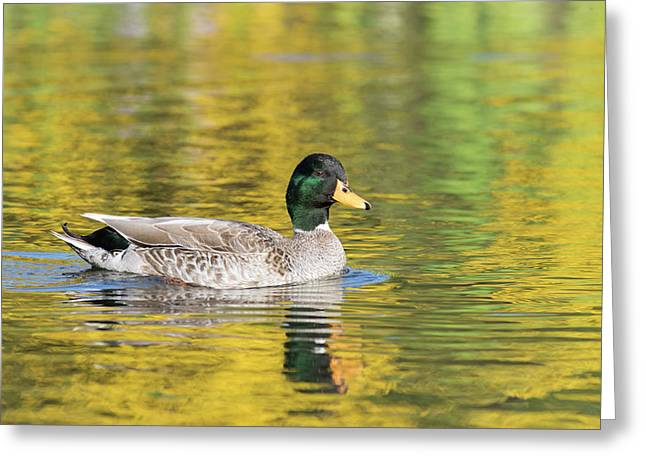 Mallard In Yellow Greeting Card