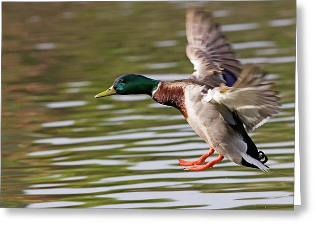 Mallards Greeting Cards - Mallard Landing Greeting Card by Randall Ingalls