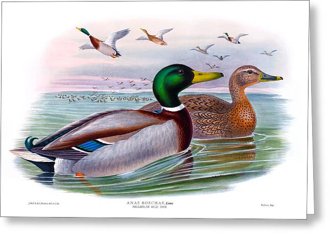 Mallard Or Wild Duck Antique Bird Print Joseph Wolf Birds Of Great Britain  Greeting Card