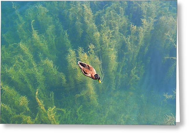 Greeting Card featuring the photograph Mallard Over Seaweed by SimplyCMB