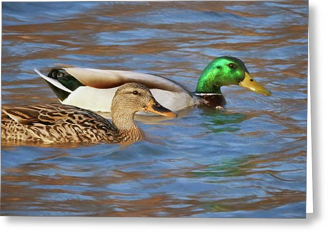 Mallard Pair Greeting Card by Nikolyn McDonald