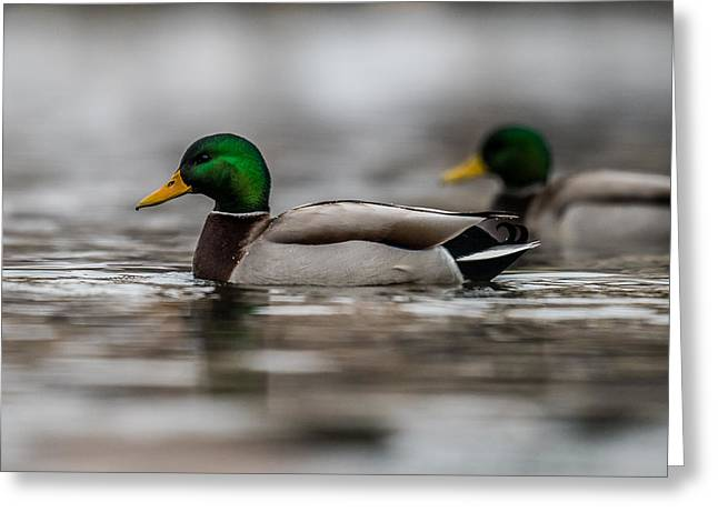 Mallard Greeting Card by Paul Freidlund