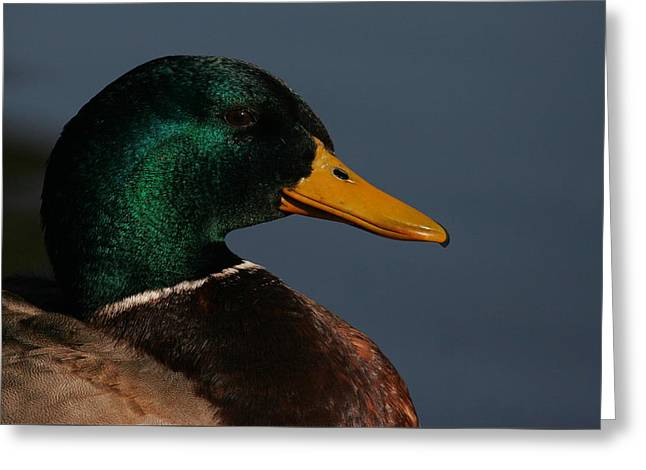 Mallard Portrait Greeting Card by Andrew Johnson