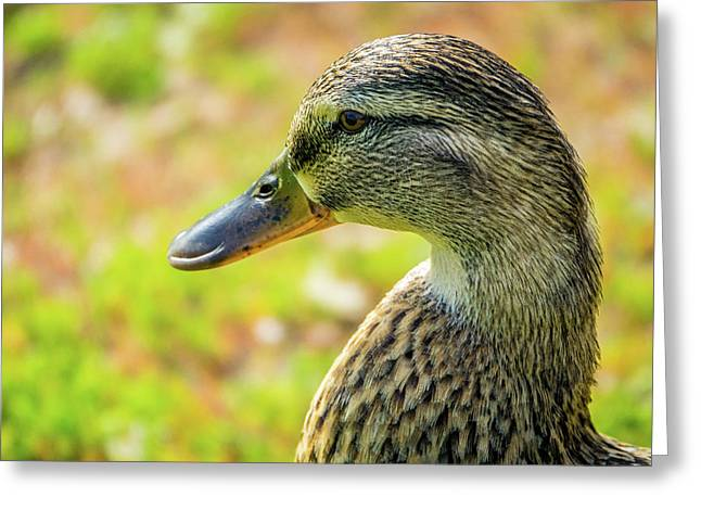 Mallard Portrait - Female Greeting Card