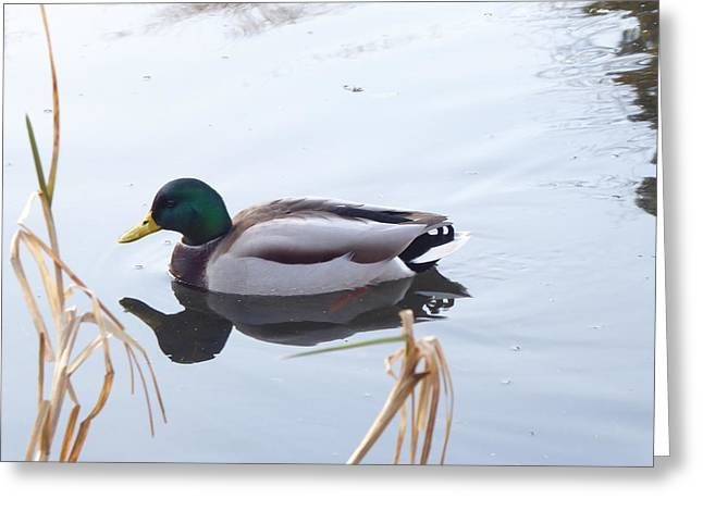 Mallard Reflected Greeting Card