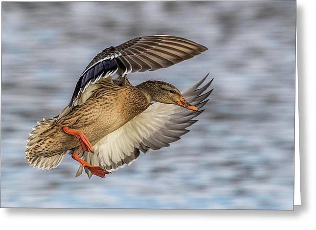 Mallard With Cupped Wings Greeting Card by Paul Freidlund