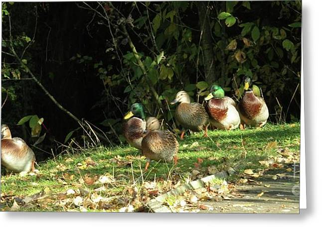 Mallards Walk Greeting Card by Kim Tran
