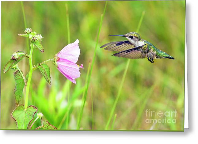 Mallow Hummer Greeting Card by Gary Holmes