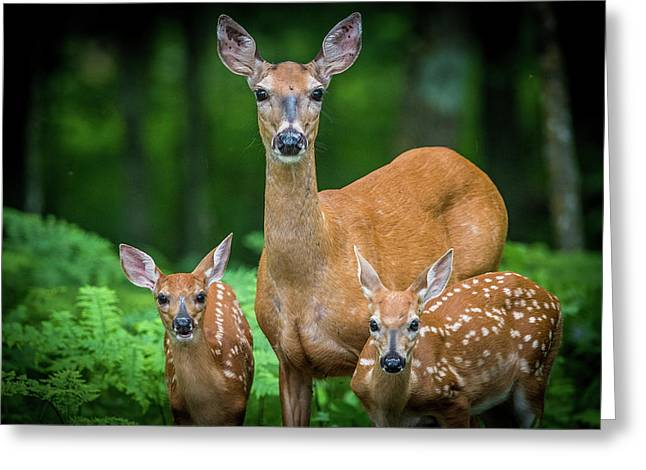 Mama And Fawns Greeting Card
