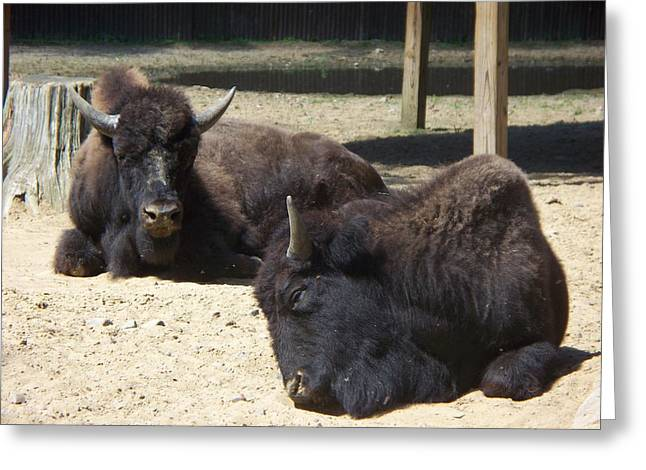 Mama And Papa Bisons Greeting Card by Rosanne Bartlett