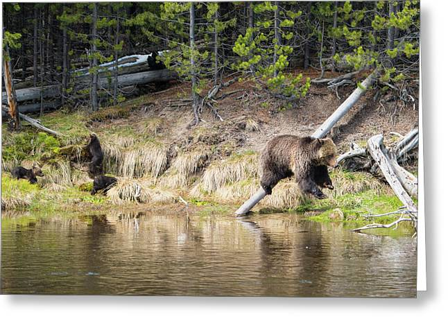 Mama Grizzly And Her 3 Cubs Greeting Card