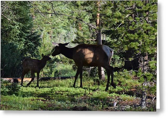 Elk Calf - Mother Rmnp Co Greeting Card