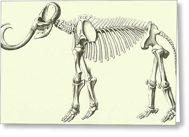 Mammoth, Elephas Intermedius Greeting Card