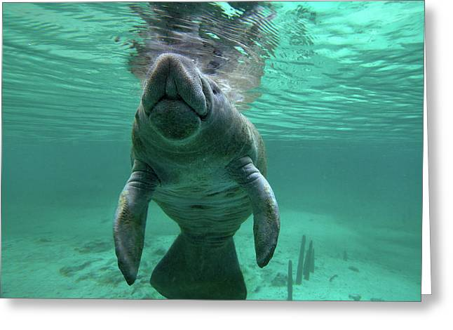 Manatee Breathing Greeting Card by Tim Fitzharris