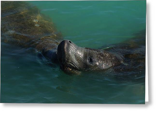 Greeting Card featuring the photograph Manatee With Seaweed Snack by Lynda Dawson-Youngclaus