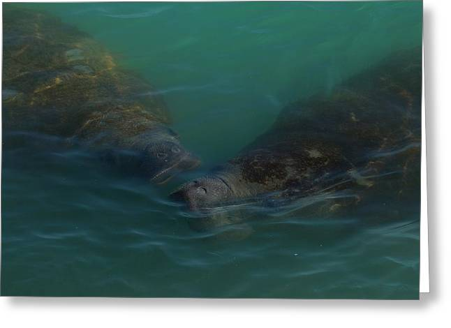 Greeting Card featuring the photograph Manatees Head For Air by Lynda Dawson-Youngclaus