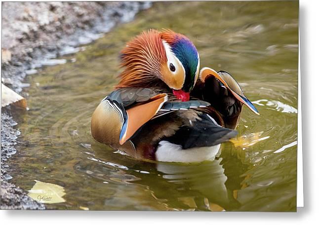 Mandarin Duck Preening Feathers Greeting Card