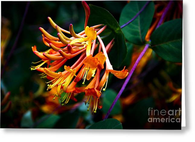 Mandarin Honeysuckle Vine 1 Greeting Card by Marina McLain