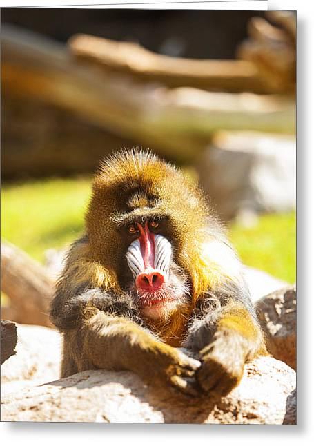 Mandrill Baboon Resting Looking Forward Greeting Card
