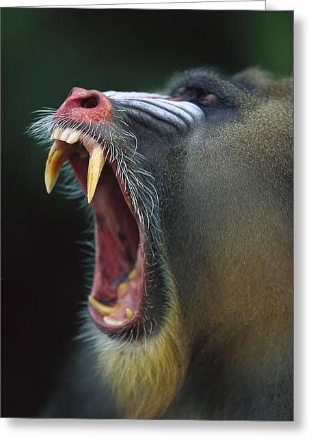 Mandrill Mandrillus Sphinx Adult Male Greeting Card by Cyril Ruoso
