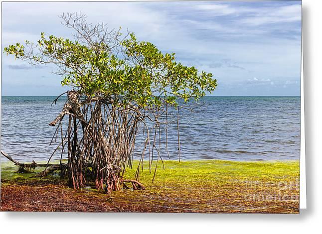 Mangrove At Florida Keys Greeting Card