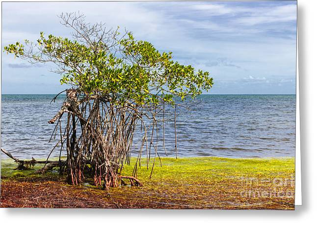 Mangrove At Florida Keys Greeting Card by Elena Elisseeva
