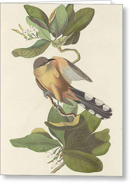 Mangrove Cuckoo Greeting Card by Rob Dreyer